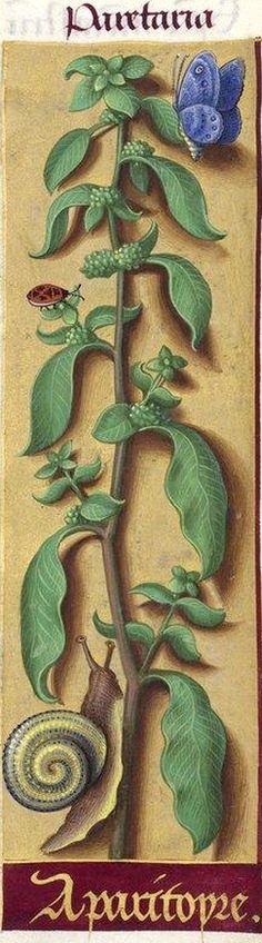 """Aparitoyre - Papetaria (l. Paretaria) (Parietaria officinalis L. = pariétaire. Le a- initial de """"aparitoyre"""" résulte de l'agglutination de l'article """"la"""" avec """"paritoyre"""") -- Grandes Heures d'Anne de Bretagne, BNF, Ms Latin 9474, 1503-1508, f°144r"""