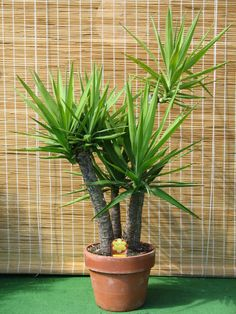 Juka http://www.semena-rostliny.cz/cs/articles/12-exoticke-rostliny-semena-rostlin?p=3