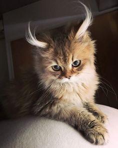 Very cute Kittens in Pics. Video of Beautiful Cat. Beautiful cats and kittens Cute Kittens, Cats And Kittens, Kittens Meowing, Animals And Pets, Baby Animals, Funny Animals, Cute Animals, Funniest Animals, Animal Memes