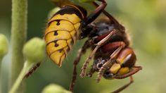 wespennest im rolladenkasten wespen hornissen pinterest erlangen. Black Bedroom Furniture Sets. Home Design Ideas