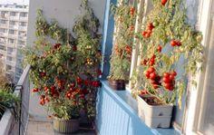 Takto se dají pěstovat v samozavlažovacích truhlících rajčata, pokud máte u panelákového bytu lodžii. Další rady k pěstování v těchto nádobách najdete v knížce Pěstování květin, orchidejí, hub a zeleniny v samozavlažovacích truhlících autora Tomáše Syrovátky, který má na vynález systému závlahy pomocí skelných knotů patent udělený roku 1982. Pesto, Diy And Crafts, Flowers, Plants, Vegetables Garden, Compost, Balcony, Royal Icing Flowers, Flower