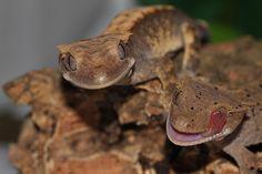 Crested Geckos    by Danielle Coghill