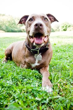 Lilly's Train Track Heroics | 7 Pit Bull Heroes That Will Change Your Mind About The Breed/ November 20, 2013