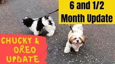 Chucky and Oreo Malshi & Shih Tzu Update. Walking our Shih Tzu Chucky and Oreo the Maltese Shih Tzu cross / mix puppies including Discussion on a New dog fla. Maltese Shih Tzu, Shih Tzu Puppy, Chucky, Dog Training, Oreo, Puppies, Dogs, Animals, Animales