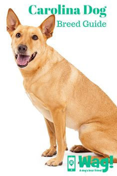 Carolina Dog Breed Guide Everything you need to know about the Carolina Dog! Dingo Dog, Dog Best Friend, Dog List, Dog Facts, Purebred Dogs, Guide Dog, Medium Sized Dogs, Dogs And Puppies, Doggies