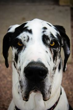 Black and white spotted Great Dane by frances