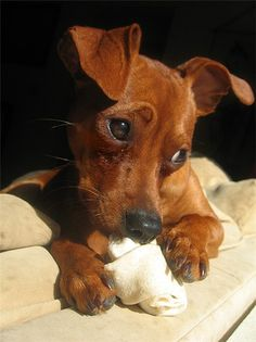 Red Miniature Pinscher with uncut ears.