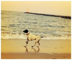 My Braque D'Auvergne pointer Bix, pointing sandpipers. Mornings are sweet, here in Cape May.