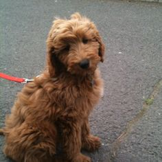 Golden doodle puppy in the park