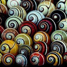El caracol arcoiris, Polymita picta