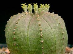 Euphorbia obesa (Basketball, Sea Urchin, Living Baseball, Golf Ball) → Plant characteristics and more photos at: http://www.worldofsucculents.com/?p=867