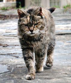 killer tabby cat scarred - Google Search