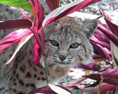 Big Cat Updates Free Gift for YOU from Keeper MaryLou G. Hi-Resolution x Photo of Tiger Lilly Bobcat . Big House Cats, Big Cats, Funny Cats, Funny Animals, Cute Animals, Wild Animals, Big Cat Rescue, Animal Rescue, Animal Welfare Board