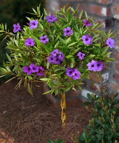 Purple Showers Ruellia Tree on Zulily.  I have bushes like this in my yard. I didn't know they could be trained to grow like a tree!