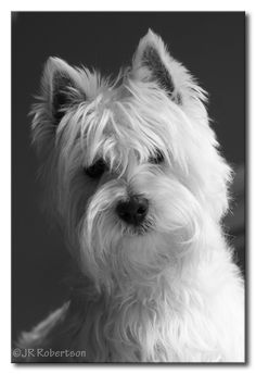 https://flic.kr/p/4DNTcX | Wee Westie Ready for His Audition | Yoshi, needing a haircut, just after a bath, caught in the diffused light from our south facing window. I put him up on our dining room table to get this shot.