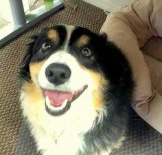 The perfect corgi smile.