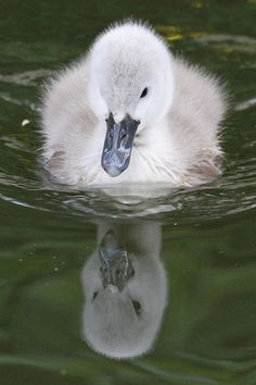 Whoever made up the fairytale about the ugly duckling didn't see this lovely signet