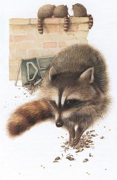 Winter raccoons