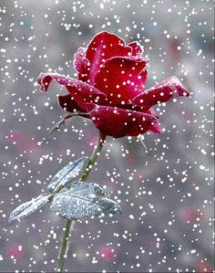 Bonne soirée avec cette belle rose sous la neige :)