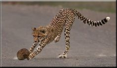 This young cheetah was playing rugby with a dung ball while mother and sister were watching. Photographed in the Southern part of Kruger National Park Kruger National Park, Cheetahs, Rugby, Amelia, Giraffe, Animals, Felt Giraffe, Animales, Animaux