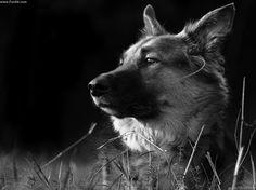german shepherd dogs photos - Bing Images