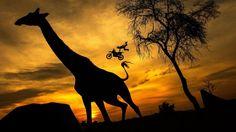 """Waghalsig trifft langhalsig... Auch wenn sich """"X-Fighter"""" Maikel Melero große Mühe gibt – diese Giraffe in Südafrika zeigt sich von seinen spektakulären Sprüngen völlig unbeeindruckt"""