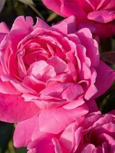 Red Double Knockout Rose For Sale Online Double Knockout Roses, Landscaping With Roses, Rose Online, Tower Garden, Xeriscaping, Rose Trees, Rose Shop, Planting Roses, Rose Bush