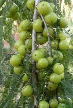 The Amla or Indian Gooseberry is a small leafy tree that grows throughout India and bears an edible fruit. Gooseberry Growing, How To Grow Gooseberries, Herbal Remedies, Natural Remedies, Beautiful Fruits, Growing Tree, Medicinal Plants, Fruit Trees, Gardens