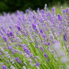 39 best lavender images on pinterest lavender lavender fields and folgate english lavender a top pick for growing as a low hedge mightylinksfo
