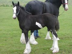 clydesdale horses foals | Wolf Mound Farms - Moss Clydesdales