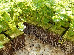 Growing Parsley in a Garden Pot - IOTA Designer Planters Greenhouse Growing, Greenhouse Gardening, Garden Soil, Garden Planters, Gardening Tips, Organic Horticulture, Design Jardin, Plant Cuttings, Mother Plant
