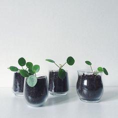 Plante dans des verres / green diy