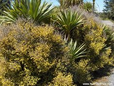 Corokia cotoneaster makes a great informal boundary hedge. Typical hedge height: New Zealand Native plant, good flowering and fruiting hedge, evergreen hedge. Evergreen Hedge, Privacy Plants, Drought Tolerant Plants, Beautiful Dream, Large Photos, Native Plants, Hedges, Garden Landscaping, New Zealand