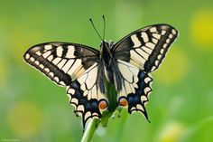 Papilio machaon VI by Aphantopus on DeviantArt