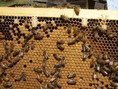 Queens For Pennies - Scientific Beekeeping Honey Bee Swarm, Raising Bees, Bee Boxes, Bee Farm, Woodworking Joints, Queen Bees, Bee Keeping, Pennies, Backyard