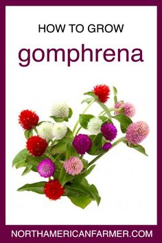 Learn about growing the gomphrena flower, or globe amaranth, which produces globe-shaped blooms in lavender, purple, pink, red, blue, orange and white.