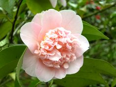 Exciting new plants you can buy now: Camellia WilliamsII 'Toni Finlay's Fragran'. Price: £ 14.50 and £24.49 each. From: www.trehane.co.uk