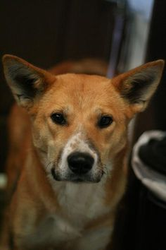 Sara Age months Breed : Heeler X Location: Edmonton Intake: September 2012 Animal Rescue, Corgi, September, Age, Animals, Animais, Corgis, Animales, Animaux