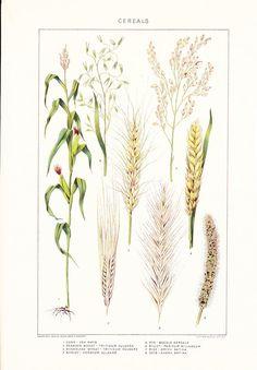 1903 Botany Print - Cereal Grains - Vintage Antique Art Illustration Book Plate Natural Science Great for Framing 100 Years Old