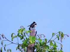 Oriental magpie-robin (Copsychus saularis) - at Thirunelly, Wayanad, Kerala,