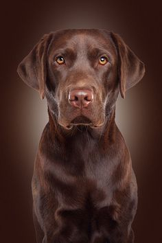 'Quentyn' by Daniel Hohlfeld on 500px & www.fotoatelier-berlin.de/auftrag/tier-fotoshooting #labradorretriever