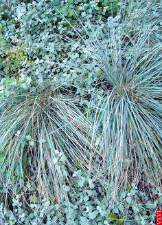 21-08 | De blauwgrijze combi van de Helictotrichon sempervirens (sierhaver) met het eenjarige Helichrysum petiolare op de 'berg' in m'n tuin.