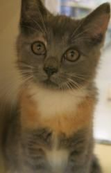 Prue is an adoptable Dilute Calico Cat in Concord, NC. Prue is a beautiful little girl with the most interesting markings. She is super playful, affectionate and fun and will make a great new additio...