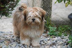 lhasa-apso cute cute cute!