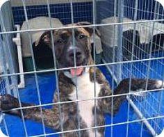 New Kent, VA - American Pit Bull Terrier/Plott Hound Mix. Meet Baker, a dog for adoption. http://www.adoptapet.com/pet/16580353-new-kent-virginia-american-pit-bull-terrier-mix
