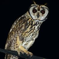 Owl Gallery: Species - The Owl Pages