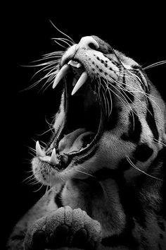 Of the modern cats, Clouded leopards have the biggest teeth in comparison to their skull size.