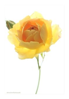 Perfect Yellow Rose. by Alyson Fennell on 500px