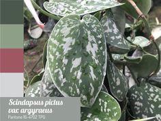 Potos-cetim Scindapsus pictus Pantone 16-4702 TPG