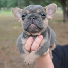 28 Best Blue Tri French Bulldogs Images Bulldog Puppies